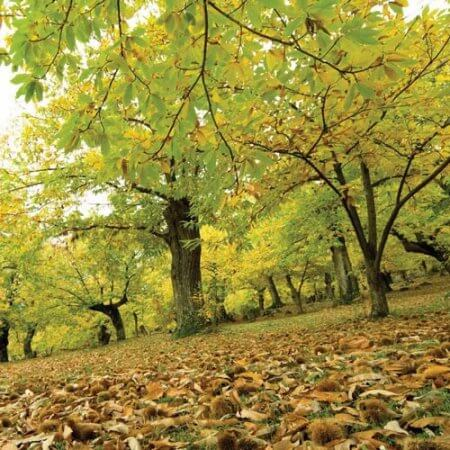 Adozione albero di castagne