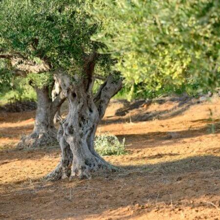 Adozione albero di ulivo