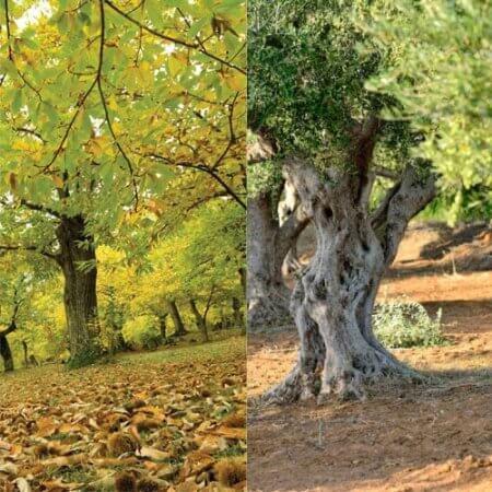 Adozione albero di castagne e ulivo